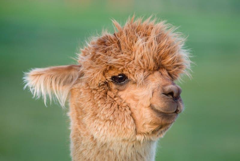 Retrato da alpaca imagens de stock