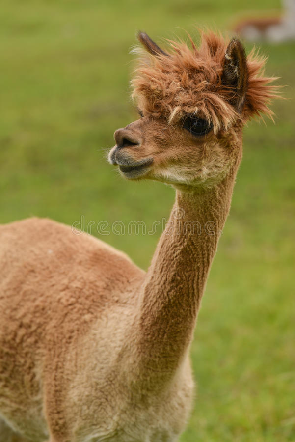 Retrato da alpaca fotos de stock