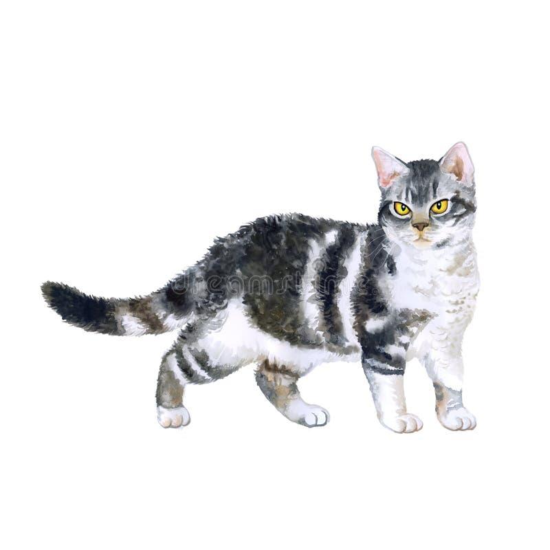 Retrato da aquarela do gato americano exótico raro do wirehair no fundo branco imagem de stock