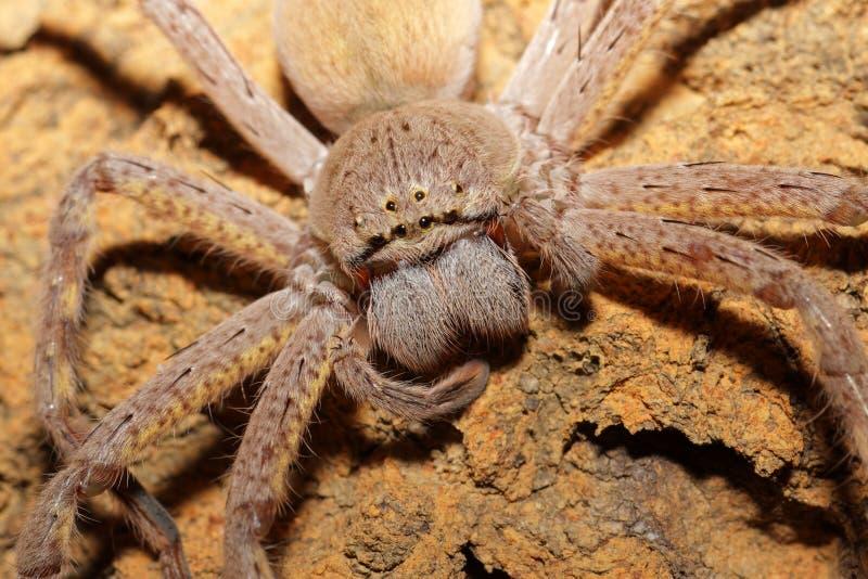 Download Retrato da aranha foto de stock. Imagem de cabeça, olhos - 23165718