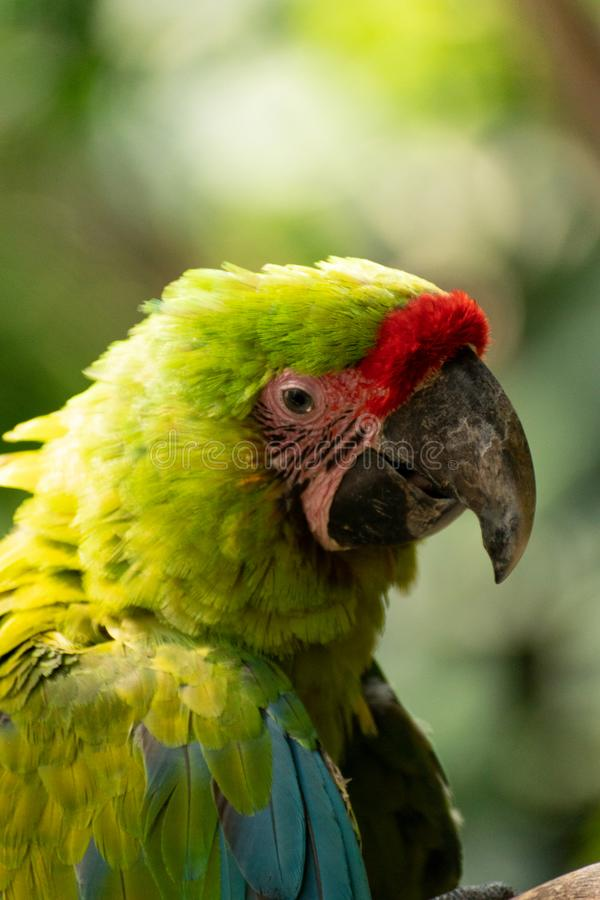 Retrato da arara bonita e do colorfull foto de stock