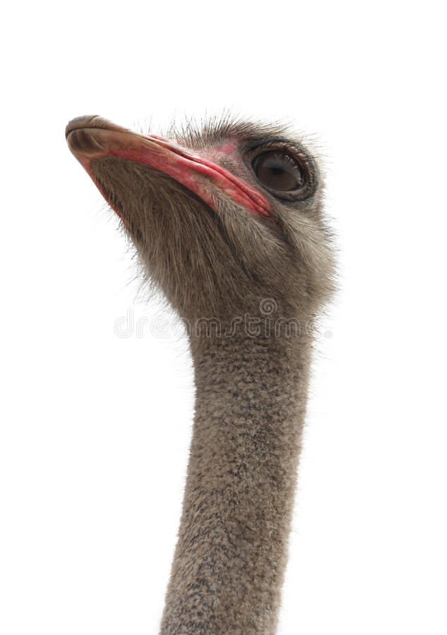 Retrato da avestruz fotos de stock