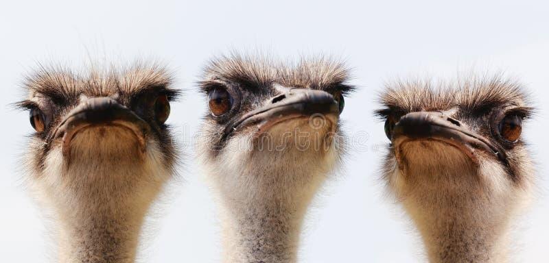 Retrato da avestruz do grupo fotografia de stock royalty free