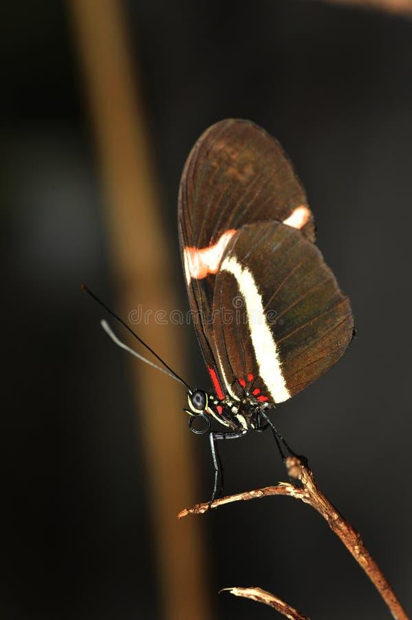 Retrato da borboleta foto de stock