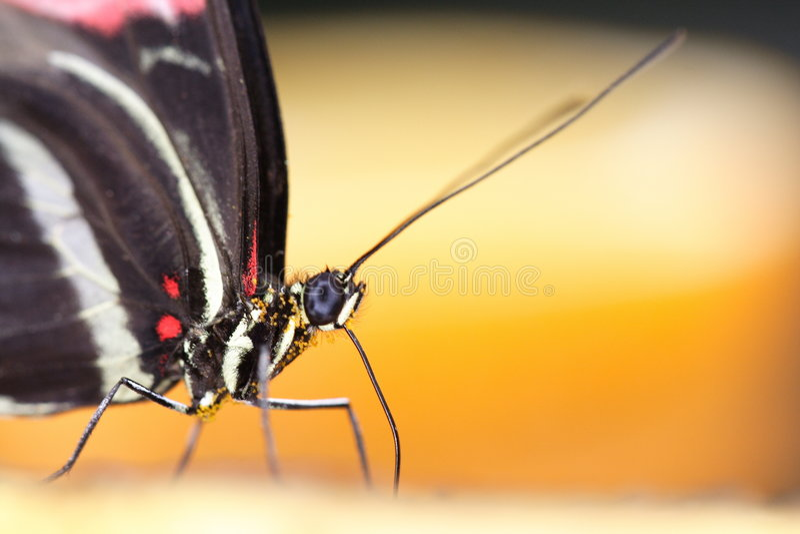 Retrato da borboleta imagens de stock royalty free