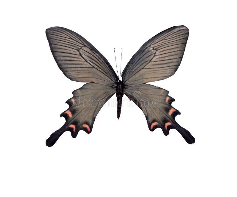Retrato da borboleta ilustração do vetor