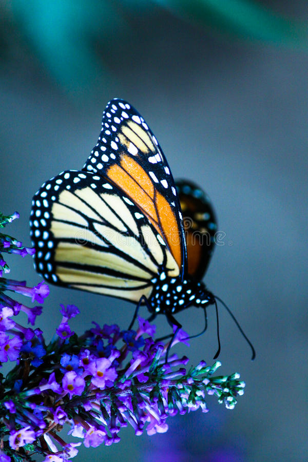Retrato da borboleta de monarca fotos de stock
