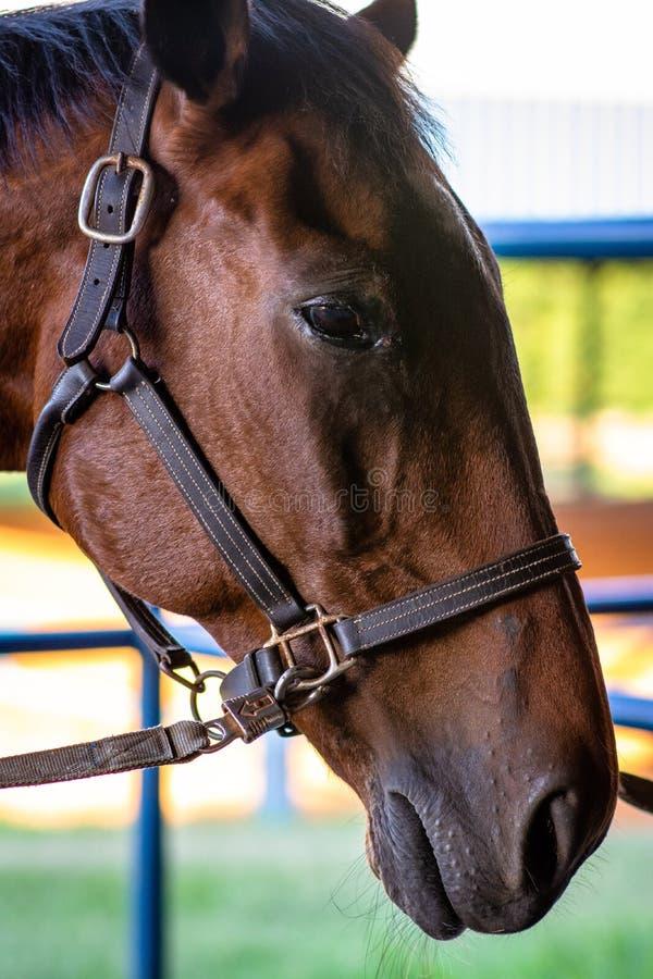 Retrato da cabeça de cavalo com freio imagens de stock