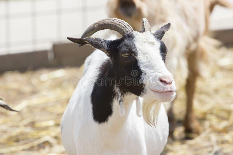 Retrato da cabra fotos de stock royalty free