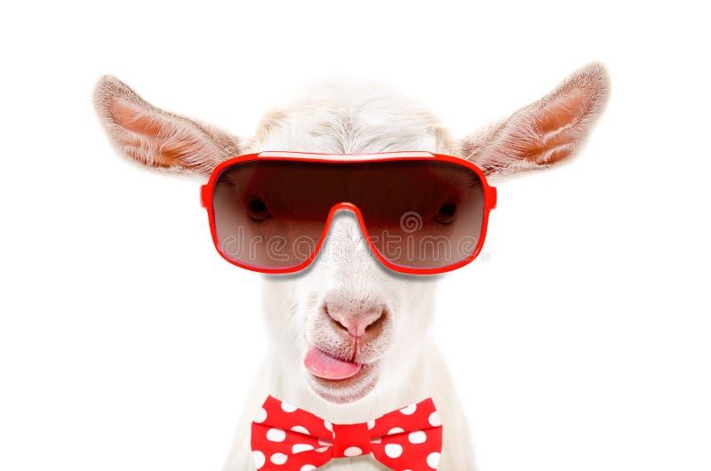 Retrato da cabra branca engraçada no óculos de sol e laço, mostrando a língua imagem de stock royalty free