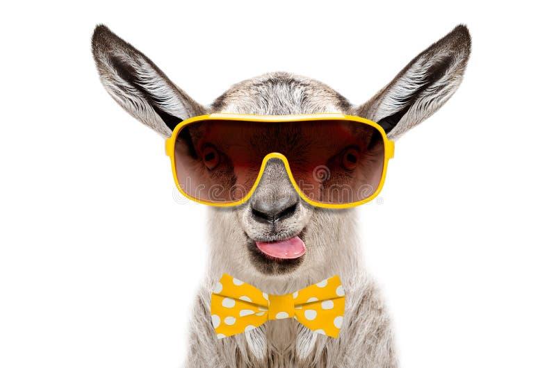 Retrato da cabra cinzenta engraçada no óculos de sol e laço, mostrando a língua fotografia de stock
