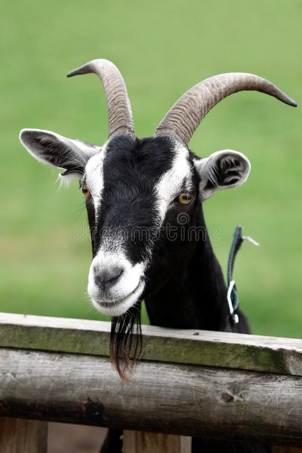 Retrato da cabra de Billy fotografia de stock