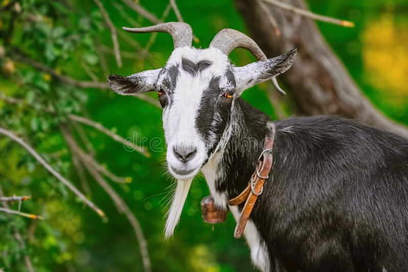Retrato da cabra foto de stock royalty free