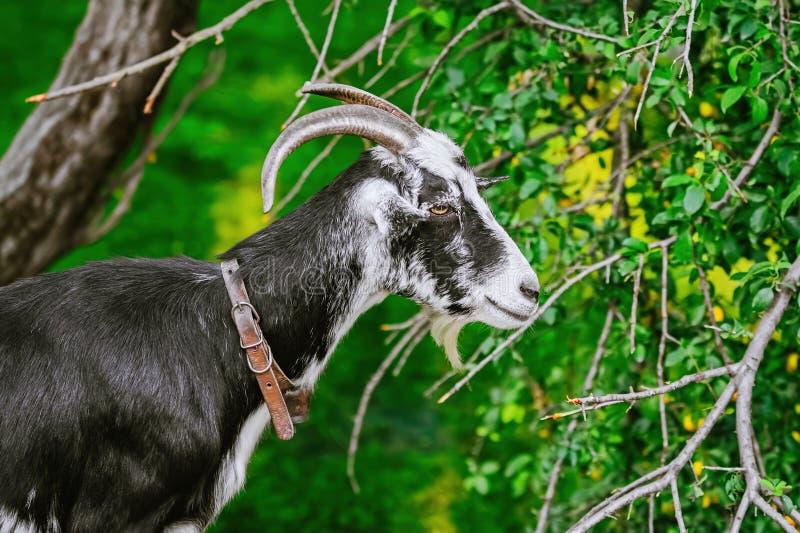 Retrato da cabra imagem de stock royalty free