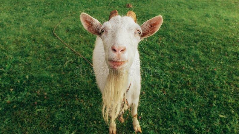 Retrato da cabra engraçada foto de stock royalty free
