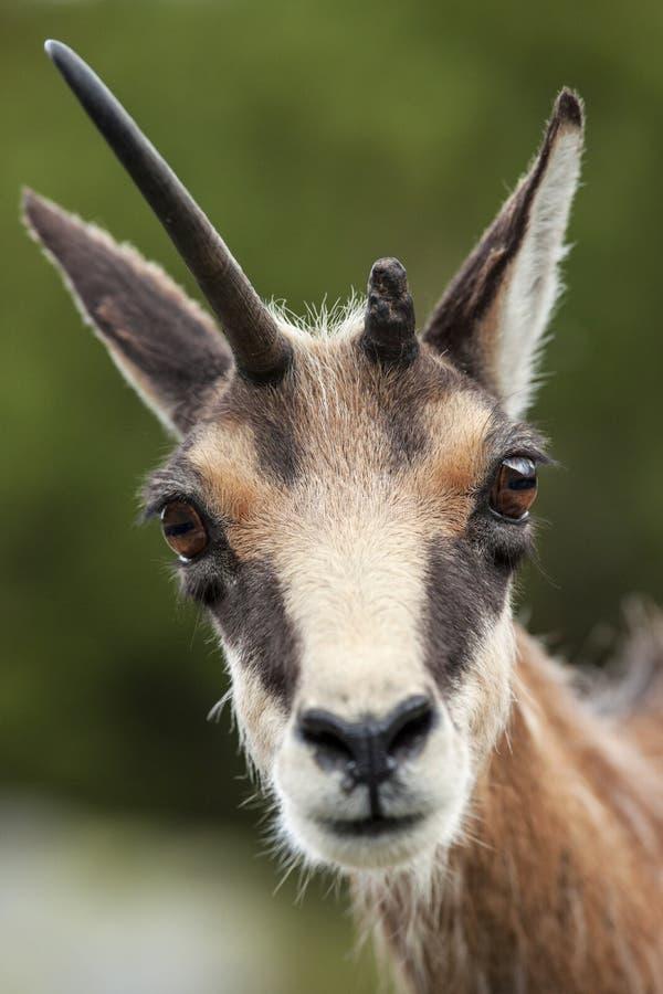 Retrato da cabra-montesa com chifre quebrado fotos de stock royalty free