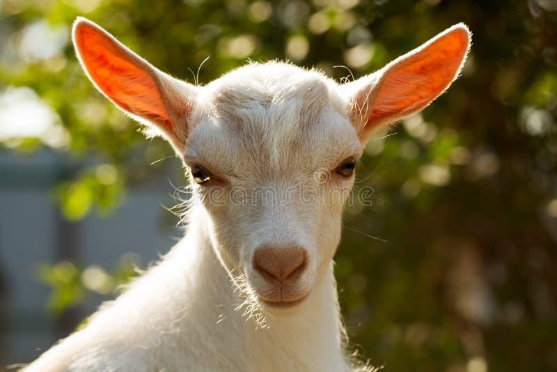 Retrato da cabra nova em um fundo verde borrado fotografia de stock