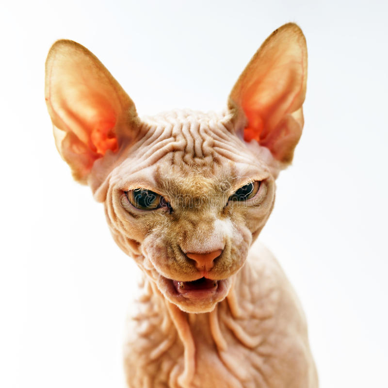 Retrato da cara do horror do gato do sphynx fotografia de stock royalty free