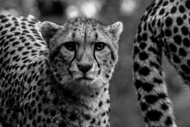 Retrato da chita em preto e branco fotografia de stock royalty free