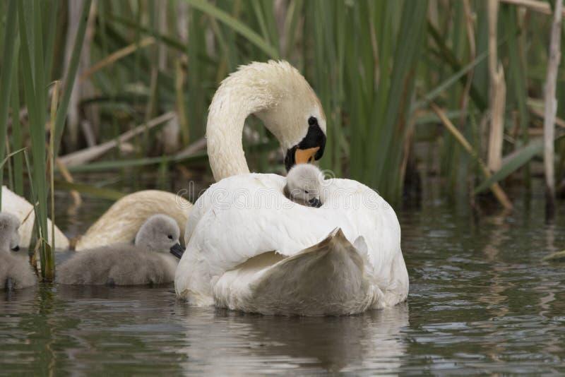Retrato da cisne e do cisne novo fotos de stock royalty free