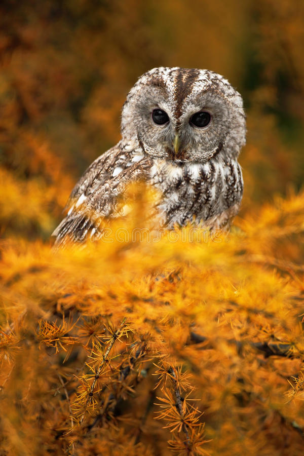 Retrato da coruja boreal pequena na árvore de larício alaranjada na Europa Central fotografia de stock
