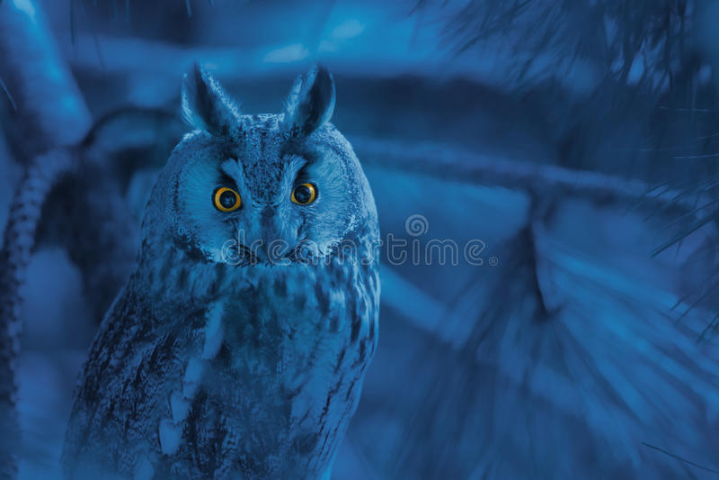 Retrato da coruja com perfurar os olhos alaranjados no backgro azul sombrio imagem de stock royalty free