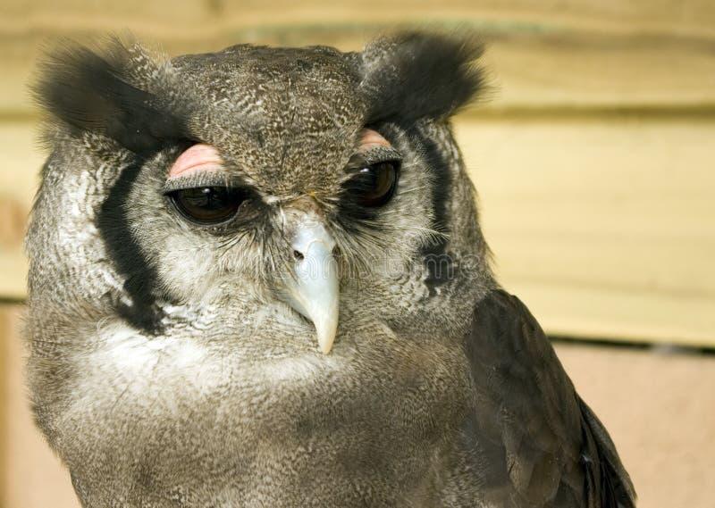 Retrato da coruja de águia de Verreaux imagem de stock