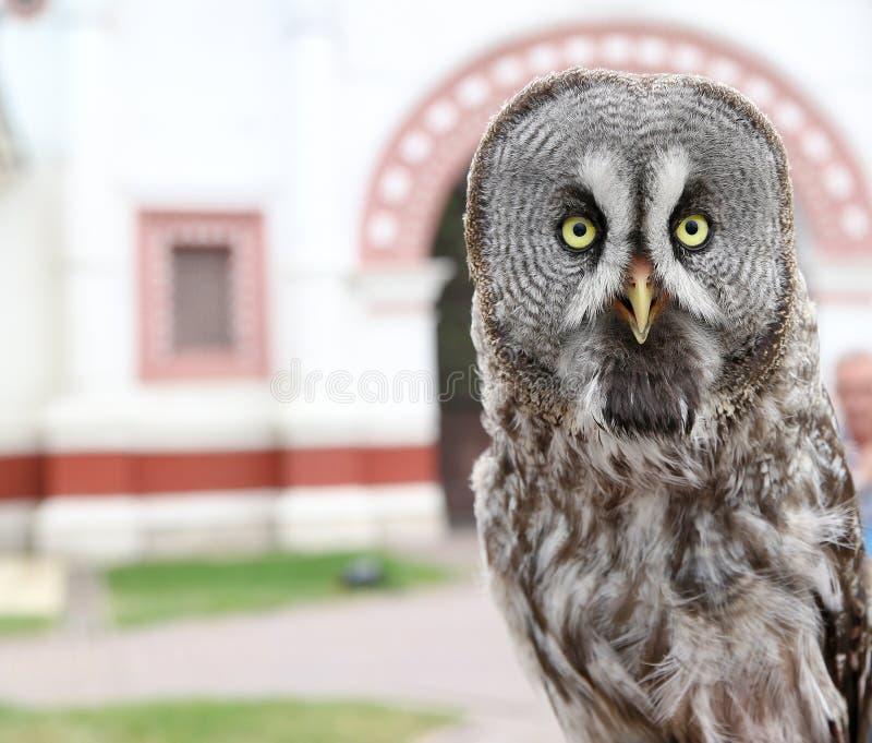 Retrato da coruja sábia no borrada fotografia de stock royalty free