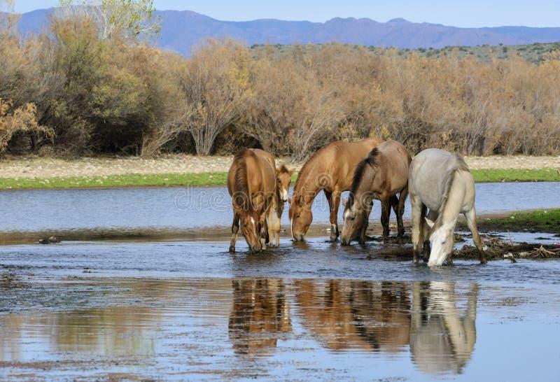 Retrato da faixa do cavalo selvagem de Salt River imagem de stock