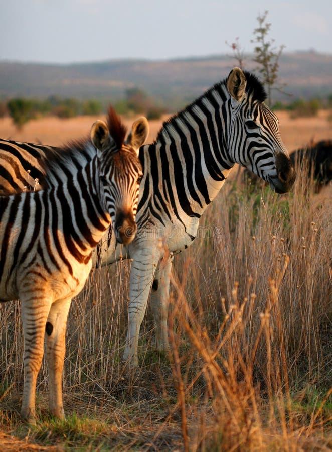 Retrato da família da zebra fotos de stock royalty free