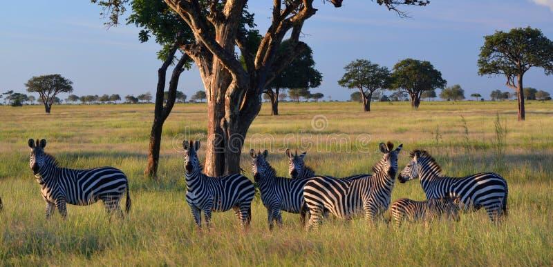 Retrato da família das zebras Parque nacional de Mikumi, Tanzânia