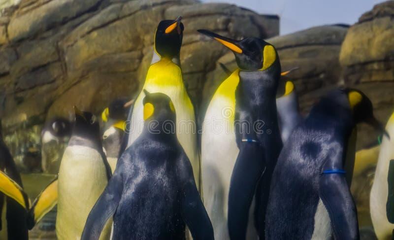 Retrato da família de pinguins de rei junto, grande specie do pinguim, pássaros flightless aquáticos da Antártica fotografia de stock royalty free