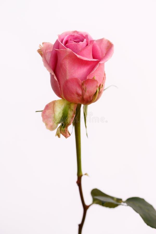 Retrato da flor cor-de-rosa cor-de-rosa pastel no fundo branco fotos de stock