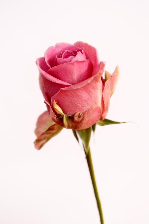 Retrato da flor cor-de-rosa cor-de-rosa pastel no fundo branco imagem de stock royalty free