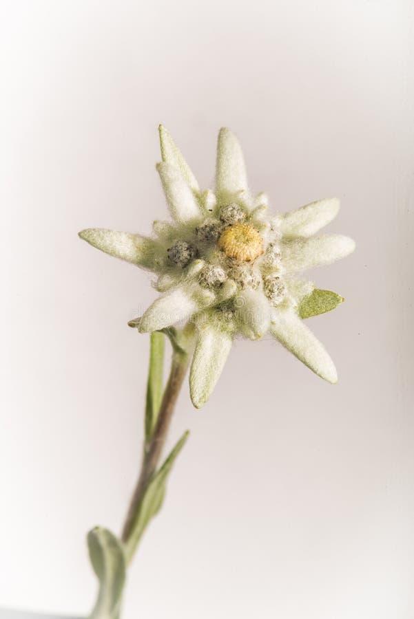 Retrato da flor dos edelvais - isolado no branco foto de stock