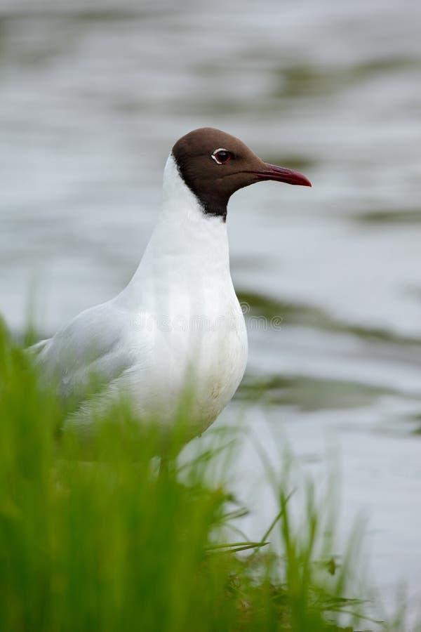 Retrato da gaivota de cabeça negra, ridibundus de Chroicocephalus, sentando-se na grama verde perto da água Finlandia foto de stock