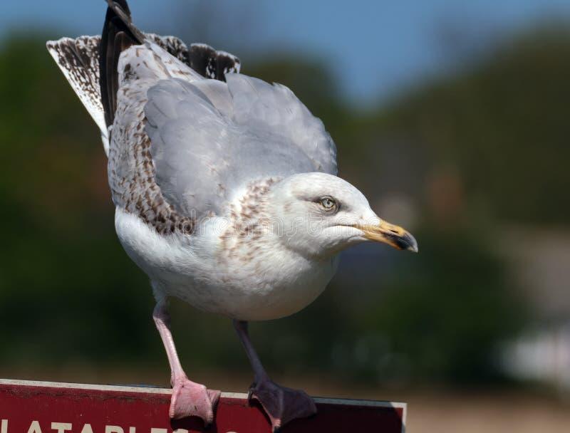 Retrato da gaivota nova no sol brilhante que procura o alimento fotografia de stock