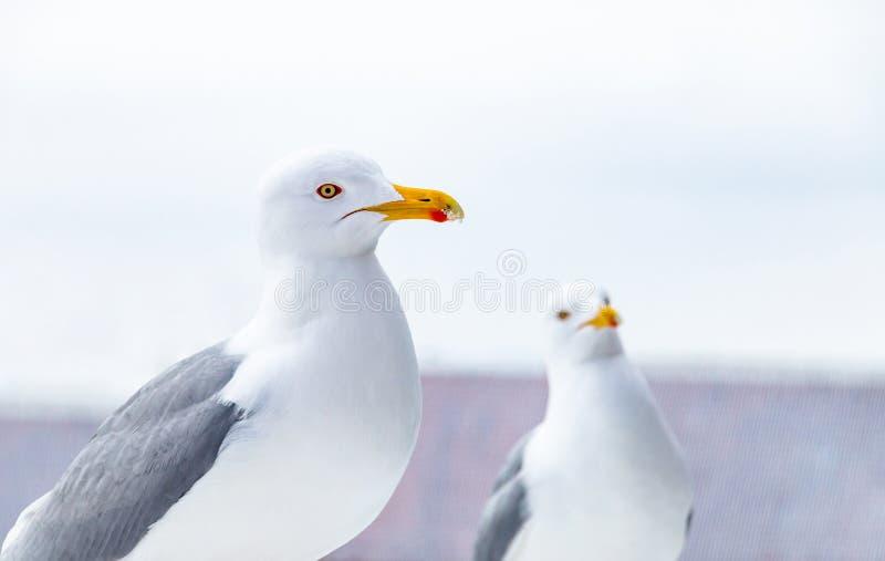 Retrato da gaivota Opinião ascendente próxima a gaivota de arenques branca fotografia de stock
