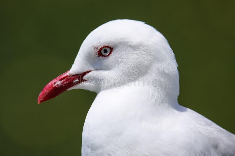 Retrato da gaivota Vermelho-faturada foto de stock