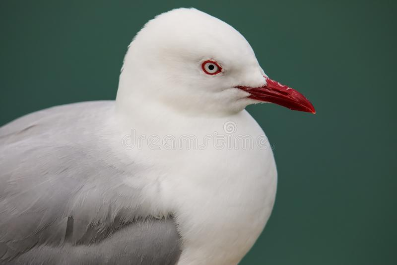Retrato da gaivota Vermelho-faturada fotografia de stock royalty free