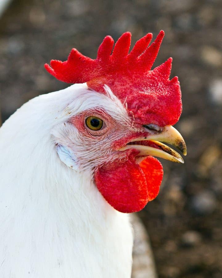 Retrato da galinha de legorne imagem de stock royalty free