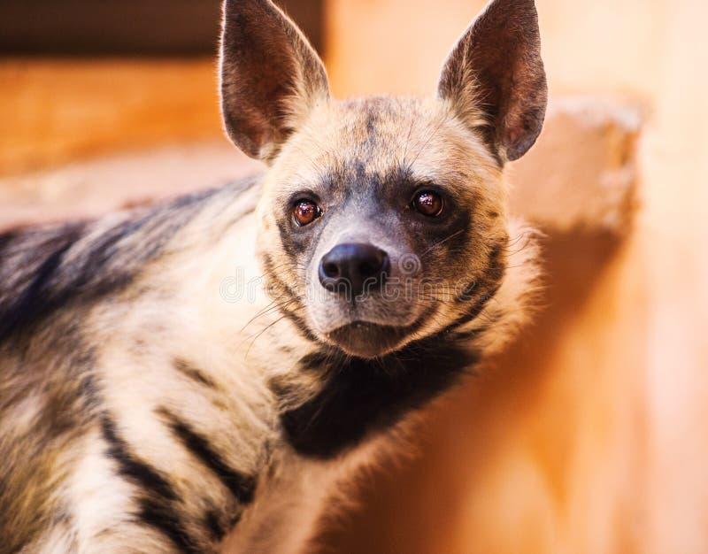 retrato da hiena listrada ( Hyaena de Hyaena imagens de stock