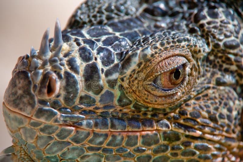 Retrato da iguana olhar fixamente imagens de stock royalty free