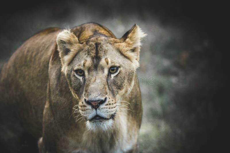 Retrato da leoa fotografia de stock
