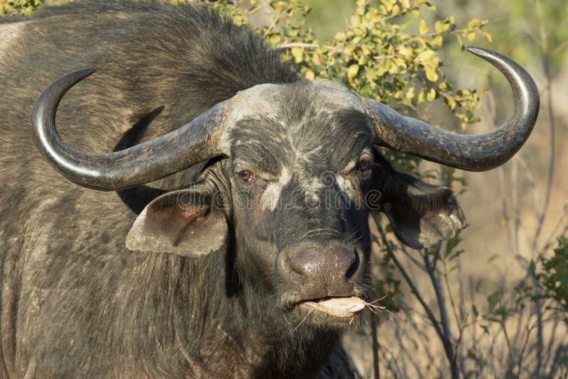 Retrato da mastigação velha da vaca do búfalo do cabo foto de stock royalty free