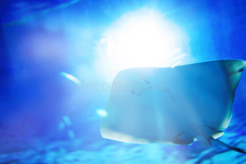 Retrato da natação do raio de manta no oceano fotografia de stock
