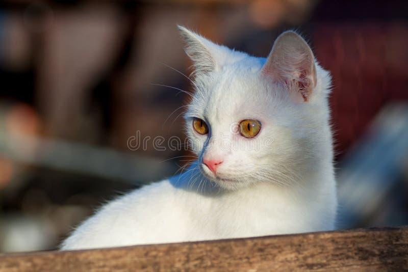 Retrato da opinião dianteira do gato branco puro do russo imagem de stock