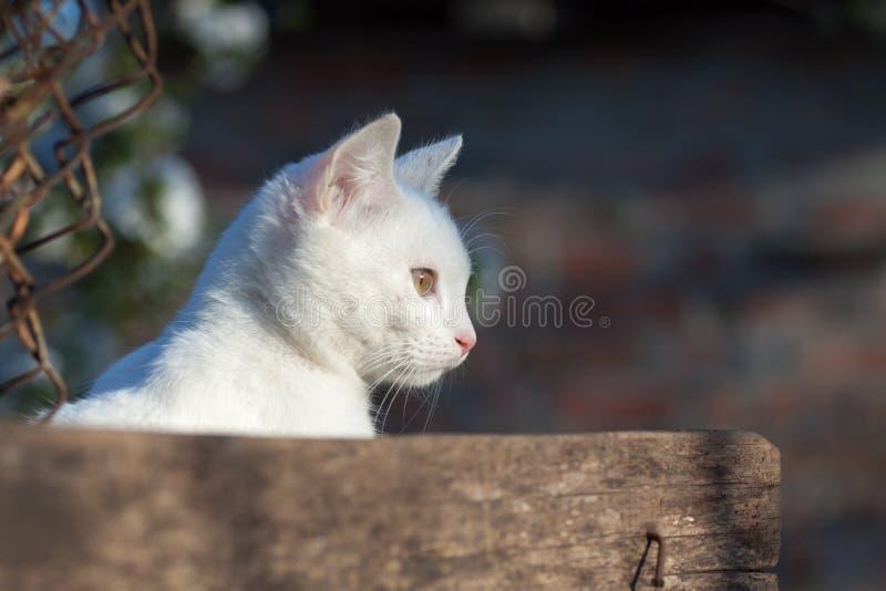 Retrato da opinião dianteira do gato branco puro do russo foto de stock royalty free