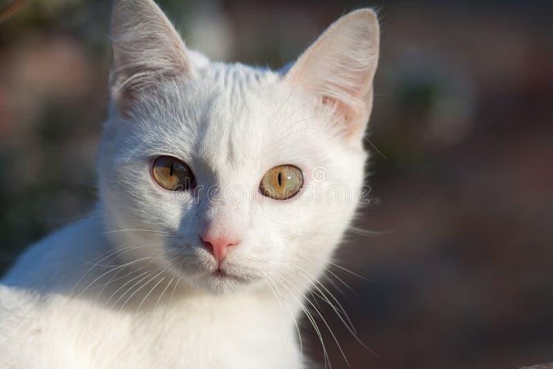 Retrato da opinião dianteira do gato branco puro do russo fotos de stock