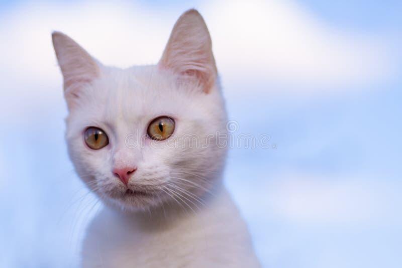 Retrato da opinião dianteira do gato branco puro do russo imagens de stock